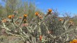 Stagehorn Cholla in Arizona