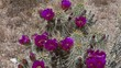 Hedgehog Cactus in Arizona