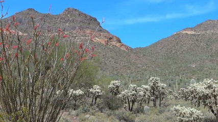 Mountain View with Cholla and Ocotillo in Arizona