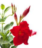 červená mandevilla