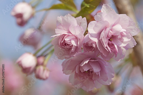 Pink cherry blossom tree - 51672680