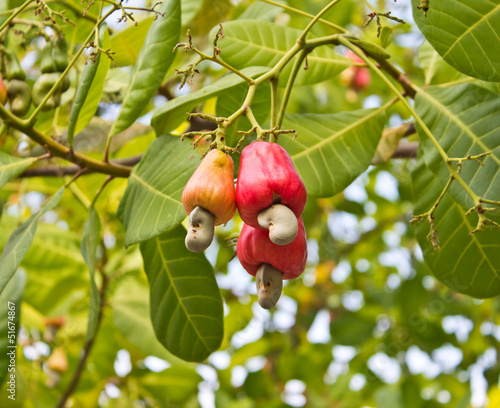 Cashew nuts growing on a tree This extraordinary nut grows outsi