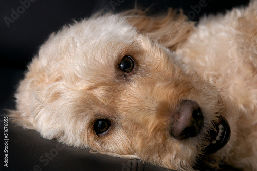 a spoodle, a cross between a spaniel and poodle