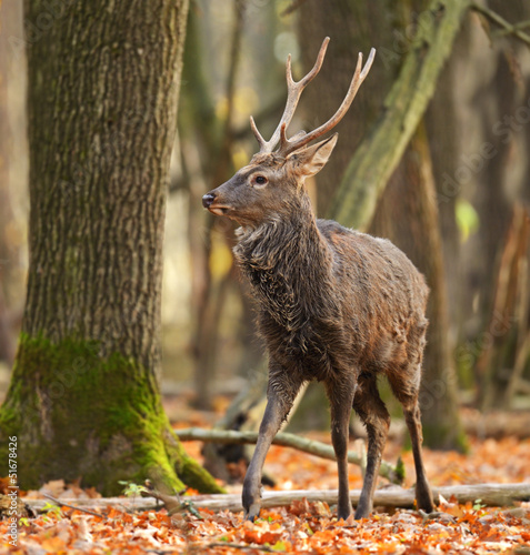 Papiers peints Roe Spotted Deer