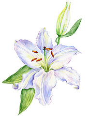 Watercolor white lily