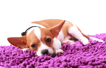 Chihuahua looking something on carpet color purple