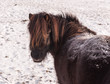 Portrait of a snow-covered pony turning around