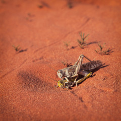 Mating locusts in the red desert