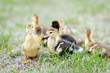 portrait of beautiful fluffy ducklings