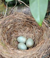 Amselnest mit 3 Eiern