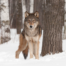 Loup gris (Canis lupus) Look Forward