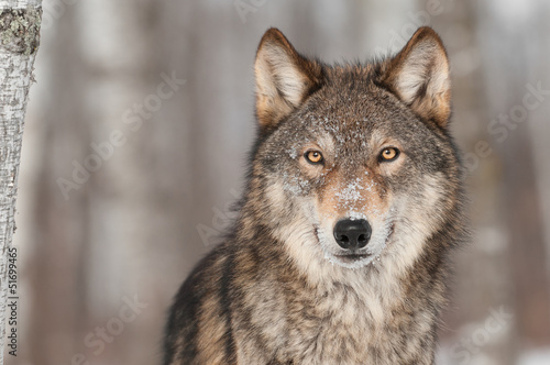 Poster Wolf Grey Wolf (Canis lupus) Portrait
