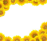 Sunflower border isolated on white