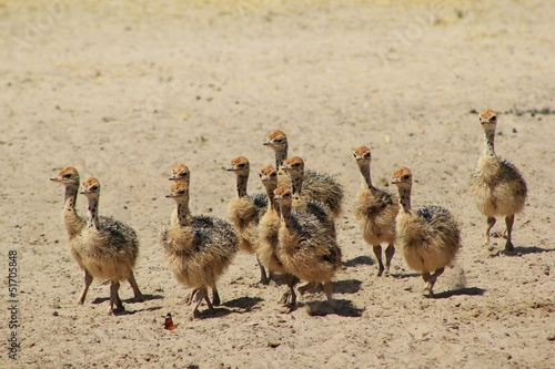 Ostrich chicks running towards a watering hole in Africa