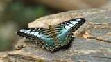clipper butterfly (parthenos sylvia) resting on a wood