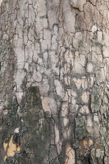 Background of plane tree bark