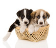 puppies in a basket. isolated on white