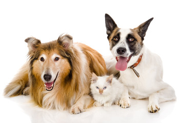 two adult dogs and tiny kitten. isolated on white
