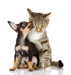 puppy kisses a cat. isolated on white