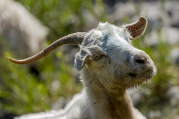 Obeja, cabra en la naturaleza, comiendo, jugando, rio, reflejo.