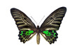 The Golden Birdwing