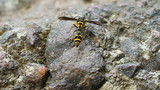 A perfect wasp-mimic surphid fly (Syrphidae)  resting on stone poster
