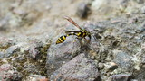 A perfect wasp-mimic surphid fly (Syrphidae)  resting on stone