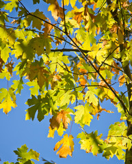 Green maple leaves against clear blue sky