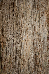 Bark of Old Pine Tree