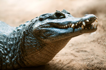Head of Yacare caiman