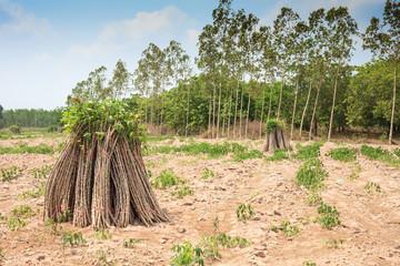 Tapioca Plants, Cassava