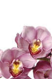 Beautiful blooming pink orchid isolated