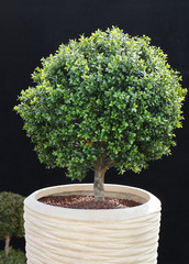 Buchsbaum im Kübel