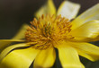 Detail of Pheasant's eye (Adonis vernalis)