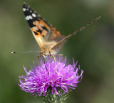 Painted lady (Vanessa cardui) on purple flower.