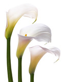 White callas flowers