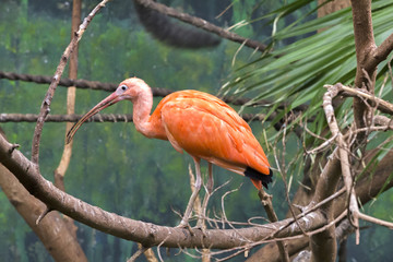 Scarlet Ibis, Eudocimus ruber stands on a tree