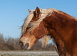 Portrait of a brown horse with blonde manes before its eyes