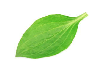Leaves of a plantain