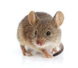 House mouse (Mus musculus) - Fine Art prints