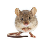 House mouse standing (Mus musculus) - 51726408