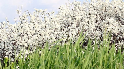 green grass and white flowers spring scene