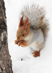 Beautiful squirrel sitting in the snow and eating a nut.