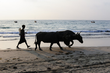 Boy leading  water buffaloes on Ngapali Beach