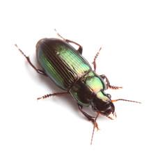 Ground beetle (Harpalus affinis) isolated on white
