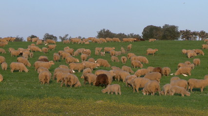 Sheeps grazing in green field