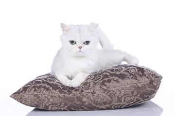 Exotic cat isolated - Exotisch Kurzhaar auf weiß