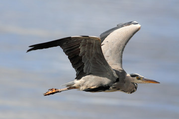 Detailed heron flight