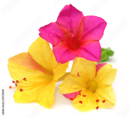 Mirabilis jalapa or sandhya moni flower of Southeast Asia