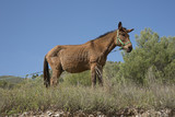 Mule standing in a field thethered to a rope